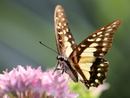 ''Butterfly''