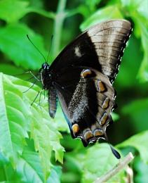 ''Ulysses Swallowtail''