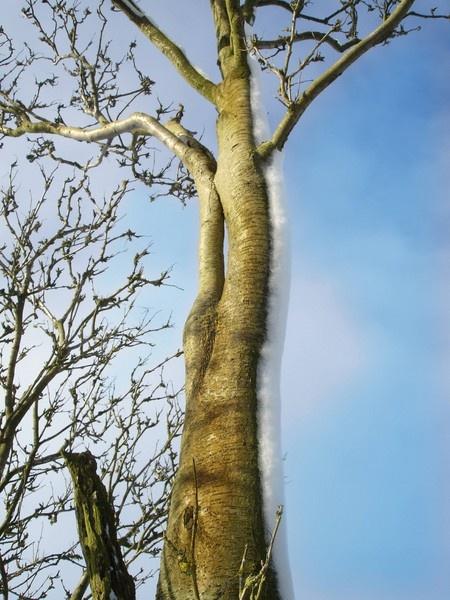 A tall tree drift by miss_v