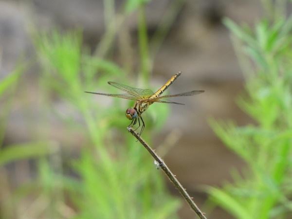 Dragon Fly by Chaitanya