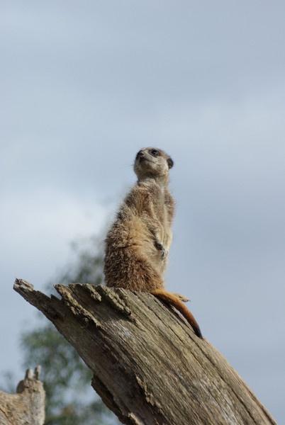 meerkat by taf1