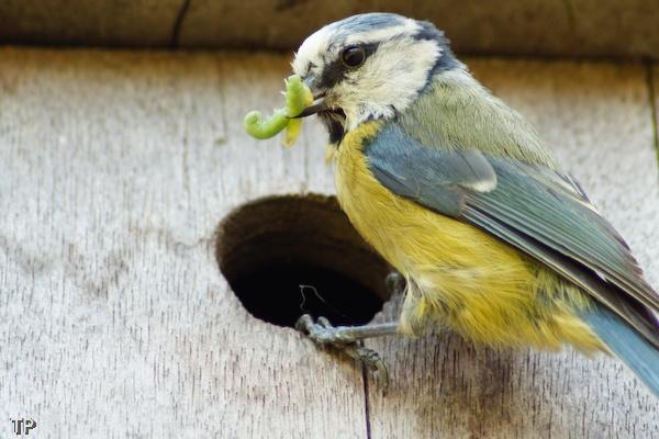 Bluetit feeding by TP