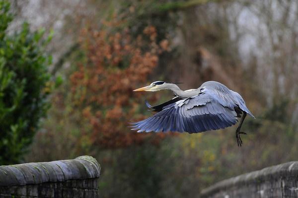 blue heron by J_Tom