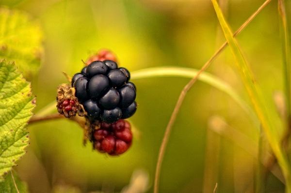 berry by rocky41