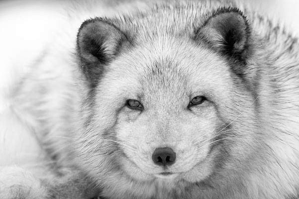Arctic Fox by KathrynGirvan