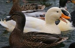 Leader of the Quack