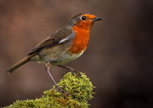 Robin by SurreyHillsMan