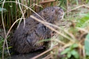 Water Vole by tigertimb