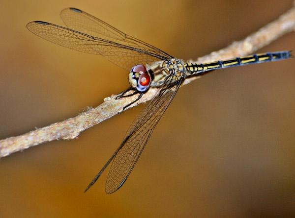 Dragonfly by wavey
