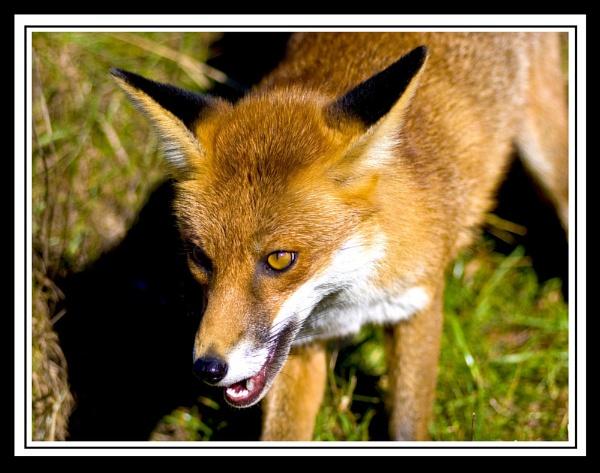 FOXEY by paddyman