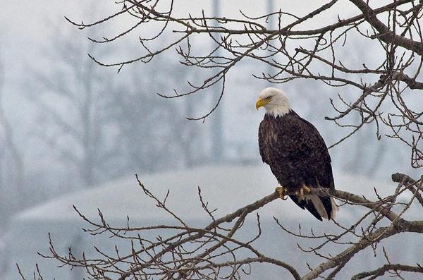 Eagle I - Snowfall by Oakenshield