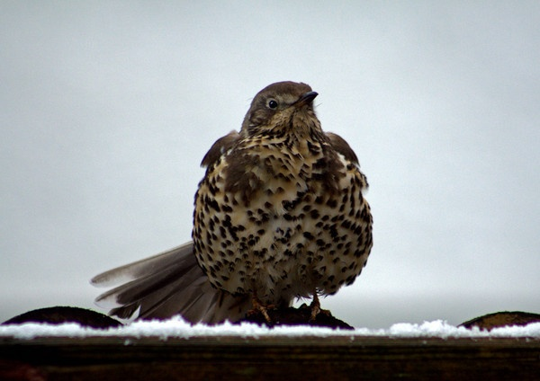 Thrush by cooter