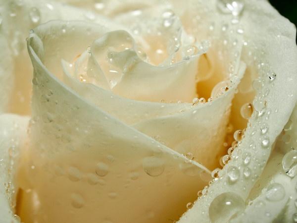 Rose by HMac