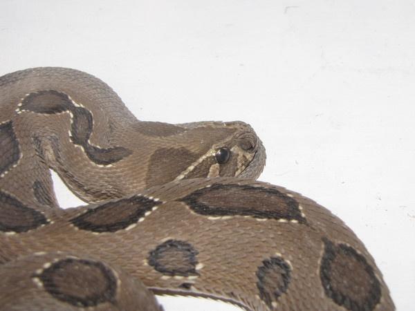 Russel\'s Viper by Chaitanya