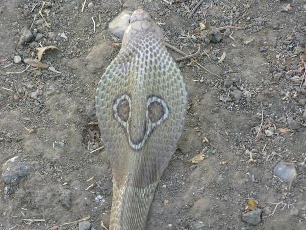 Spectacled Cobra by Chaitanya