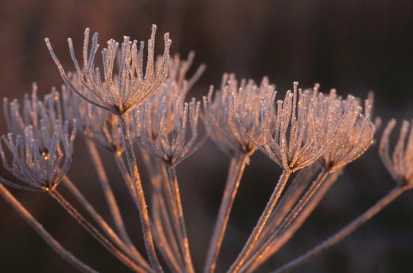 Frosty Hogweed. by Amanita05