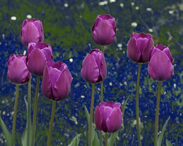Tulips by ironoctav
