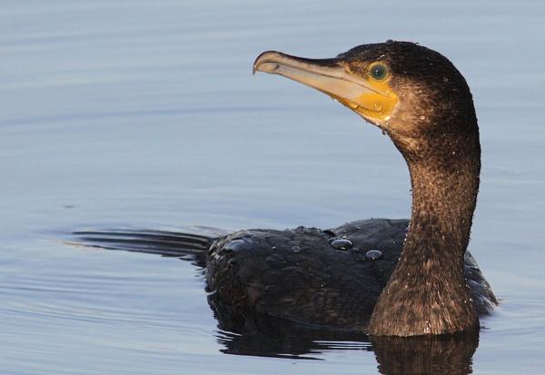 Cormorant by cambirder
