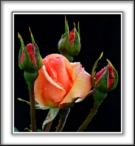 Orange Rose 5 by diver pete