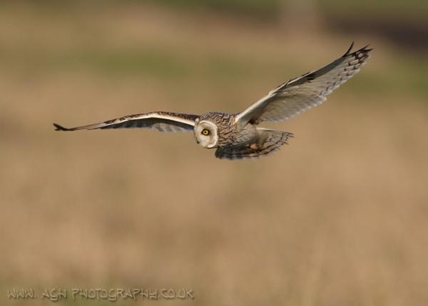 Short Eared Owl by albi