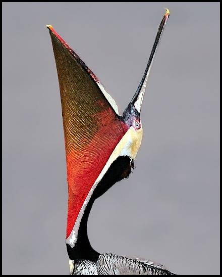 Brown Pelican by VNelson