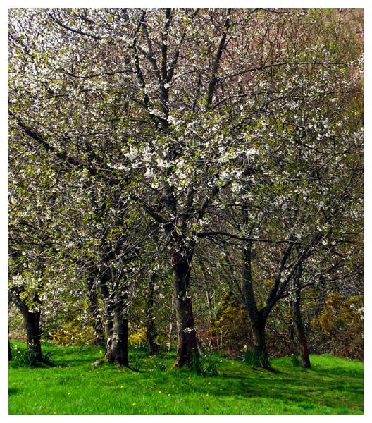 Blossom by shawpaul