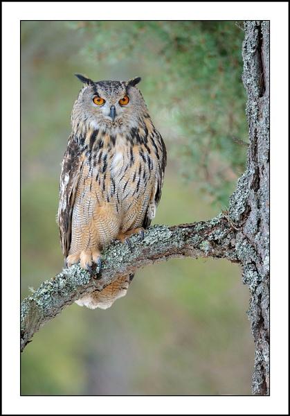 Eagle Owl by csurry