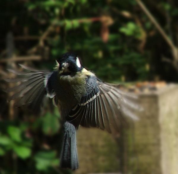 blue tit in flight by peppercorn