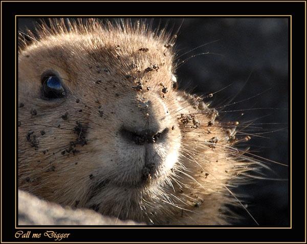 Dirty Prairie Dog by ITPSnapper