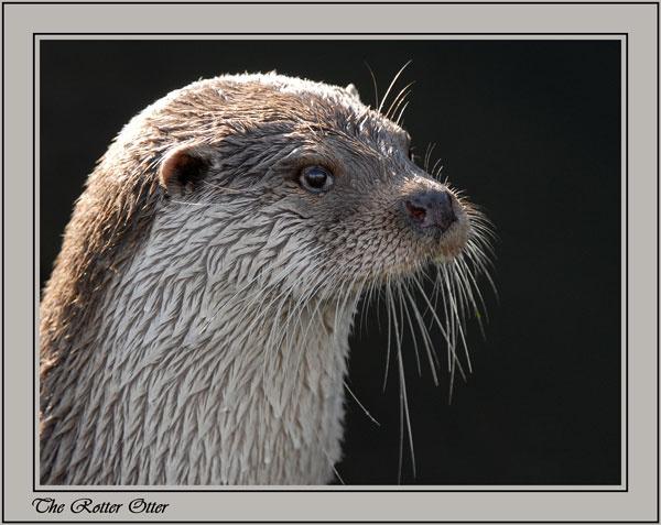 European Otter by ITPSnapper