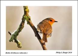 Robin (Erithacus rubecula) no2