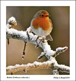 Robin (Erithacus  rubecula) no.3