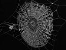 Spider's Wed
