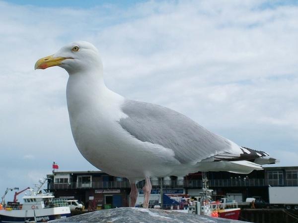 Seagull by Emmybear