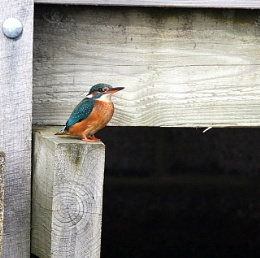 My first Kingfisher.