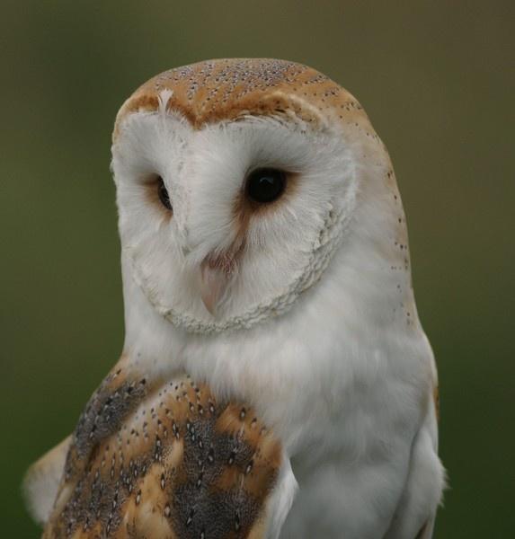 Barn Owl by Kruger01