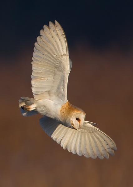 Barn Owl - Tyto alba by nigelpye