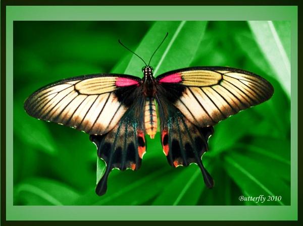 butterfly by Tony_B