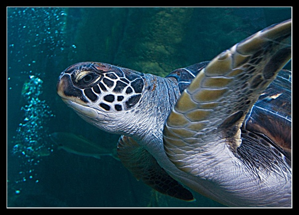 Green Turtle by Tracey_McGovern