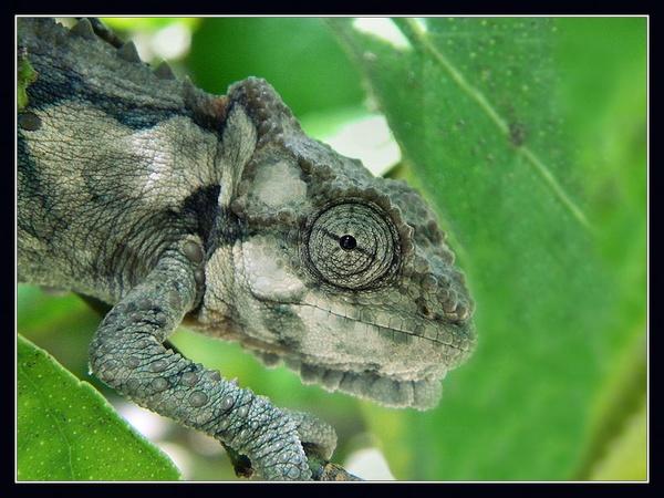 chameleon by Mikkx
