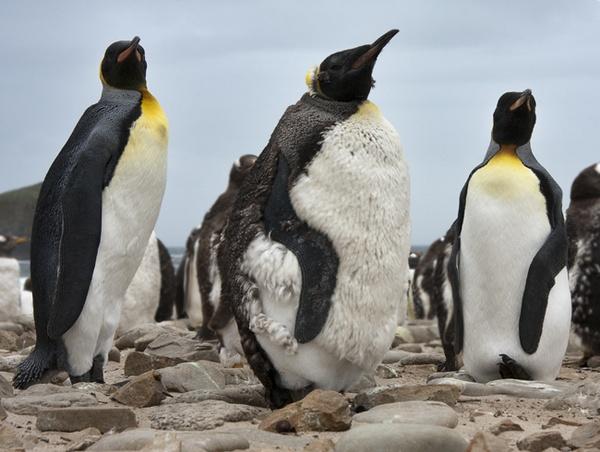 King Penguins by Skinnyde