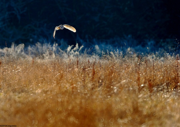 Cold Morning -Barn Owl by CraigJones
