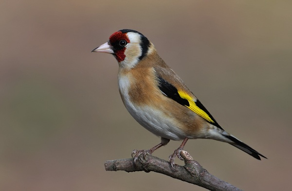 Goldfinch by NigelKiteley