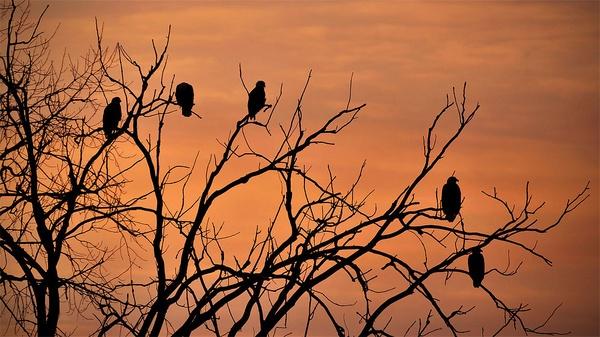 Bald Eagle II - The family by Oakenshield