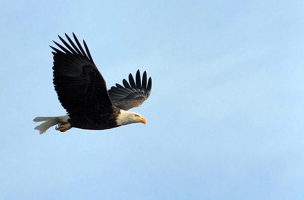Bald Eagle IV by Oakenshield