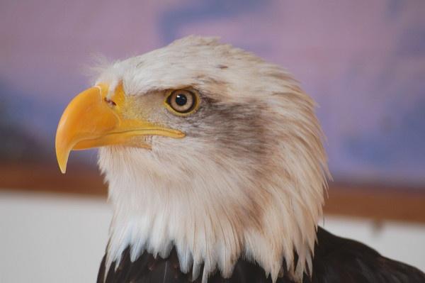Eagle Eye by gasah