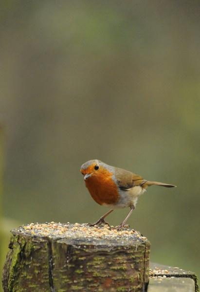robin by wisp