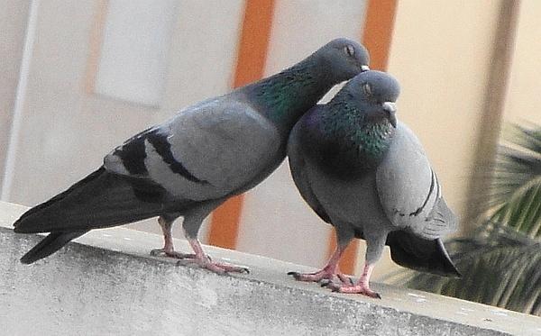 "\""LOVE-BIRDS\"" by abssastry"