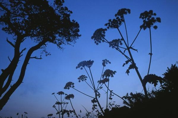 Hogweed silhouette. by Amanita05