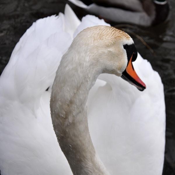 Bingley Swan by annmackiemiller